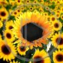 kwiat kwiaty roślina słonecznik rośliny słoneczniki