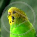 zwierzęta ptaki ptak papuga ptaszek ptaszki papugi zwierze falista faliste