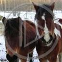 zwierzęta las koń zima konie śnieg konik koniki stadnina