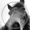 zwierzęta koń konie konik czarny biały czarno koniki klacz białe hucuły