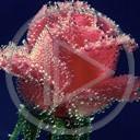 kwiat miłość kwiatek róża imiona natura