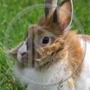 zwierzęta rudy krolik zajac zajaczek kroliczek szarak