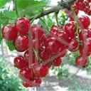 owoce roślina owoc rośliny krzak czerwone porzeczka