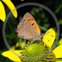 zwierzęta kwiat motyl motylek owad