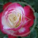 kwiat miłość kwiaty kwiatek róża roślina walentynki miłosne rośliny natura kwiatki róże kwiatuszki