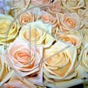 kwiat kwiaty róża bukiet rośliny róże