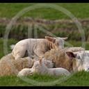zwierzęta krowa krowy odpoczynek cielak cielaki