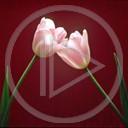 telefon miłość kwiaty tulipan walentynki zakochany zakochani miłosne obrazek tulipany kocham cię mms walentynka różowe dwa