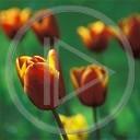 kwiat kwiaty tulipan czerwony rośliny obrazek tulipany