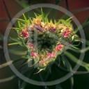 serce miłość kwiaty kolce więzienie miłosne emo obrazek miłosny złamane serce mms grafika mmsy