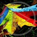 liść liście kolorowo listek kolorowe listki barwy klon liście klonu