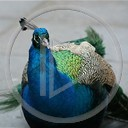zwierzęta ptaki ptak paw pawie królewski