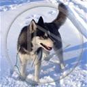 zwierzęta pies piesek psy pieski husky