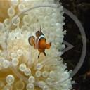 zwierzęta ryba ryby akwarium nemo rybka błazenek