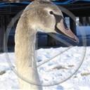 zwierzęta morze ptaki ptak łabędzie zwierze łabędż