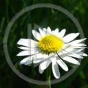 kwiatek roślina kwiatuszek wiosna Makro biały natura stokrotka stokroteczka