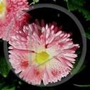 kwiat natura kwiatki stokrotki różowy stokrotka