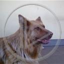 zwierzęta pies psy zwierze pets animals wilczór