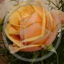 kwiat miłość kwiaty kwiatek róża zieleń piękne przyjaźń kolce życie rośliny ból uczucia uczucie zaufanie przyroda natura kwiatki róże żar ładne pogodny