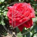 kwiat miłość kwiaty kwiatek róża zieleń życie rośliny uczucie przyroda natura kwiatki różyczka istnienie