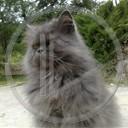 zwierzęta kot koty pers koty perskie