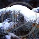 zima śnieg natura drzewa choinka