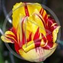 kwiat kwiaty roślina tulipan wiosna rośliny kwiatki