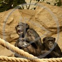zwierzęta małpa szympans małpy zoo zwierze szympansy