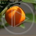 owoce owoc pomarańcza rośliny natura cytrusy pomarańczowy