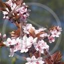 kwiaty drzewo owoce japonia rośliny przyroda natura śliwa