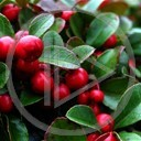drzewo owoce roślina owoc rośliny jarzębina czerwona jarzębina