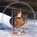 zwierzęta ptaki ptak kaczka zima kaczuszka kaczuszki kaczki zwierze