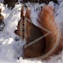 zwierzęta zima Basia ruda zwierze wiewiórki wiewióka