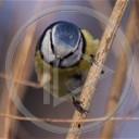 zwierzęta ptaki ptak sikorka zwierze sikorka modraszka sikorki