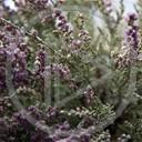 kwiat kwiaty roślina Makro rośliny krzaki wrzos