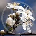 kwiat kwiaty roślina wiosna rośliny białe kwiaty