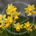 kwiaty wiosna rośliny żonkile żółte żonkile