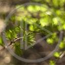 las drzewo zieleń wiosna rośliny świeżość