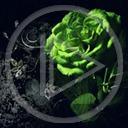 kwiat kwiaty róża roślina rośliny róże zielona róża