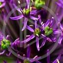 kwiat kwiaty foto lilia Makro przyroda natura kwiatki zdjecie fiolet macro