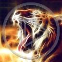zwierzęta kot tygrys koty drapieżniki tygrysy drapieżnik zwierze dziki kot