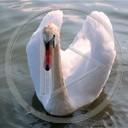 zwierzęta ptak łabędź zwierzaki biale labedz labadz śliczne