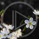 kwiat foto wiosna wiśnia Makro biały rośliny natura mirabelka