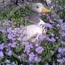 kwiaty kaczka gęś przyroda natura zwierze fiolet