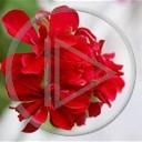 kwiat czerwony natura