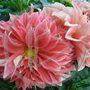 kwiaty natura różowe morelowe