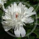 kwiat biały natura rosa